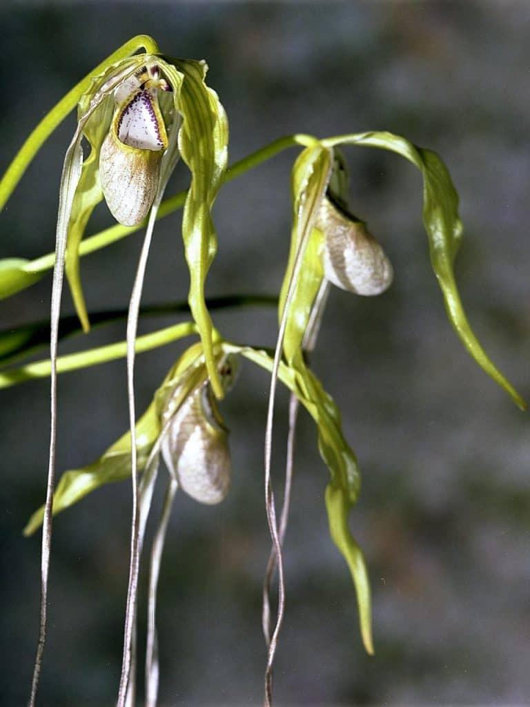 Phragmipedium orchids