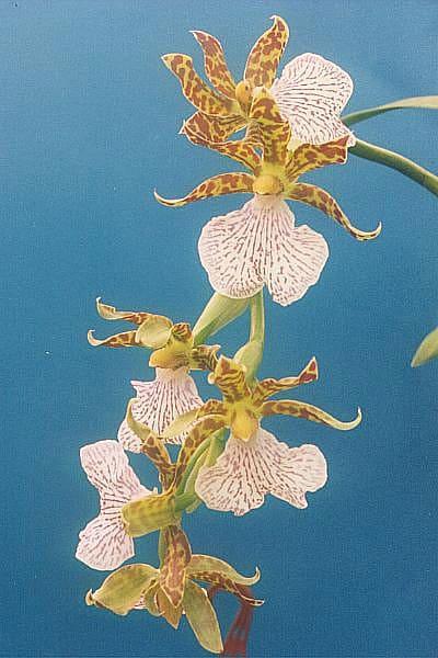 Zygopetalum orchids
