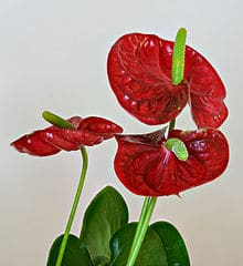 Anthurium orchids