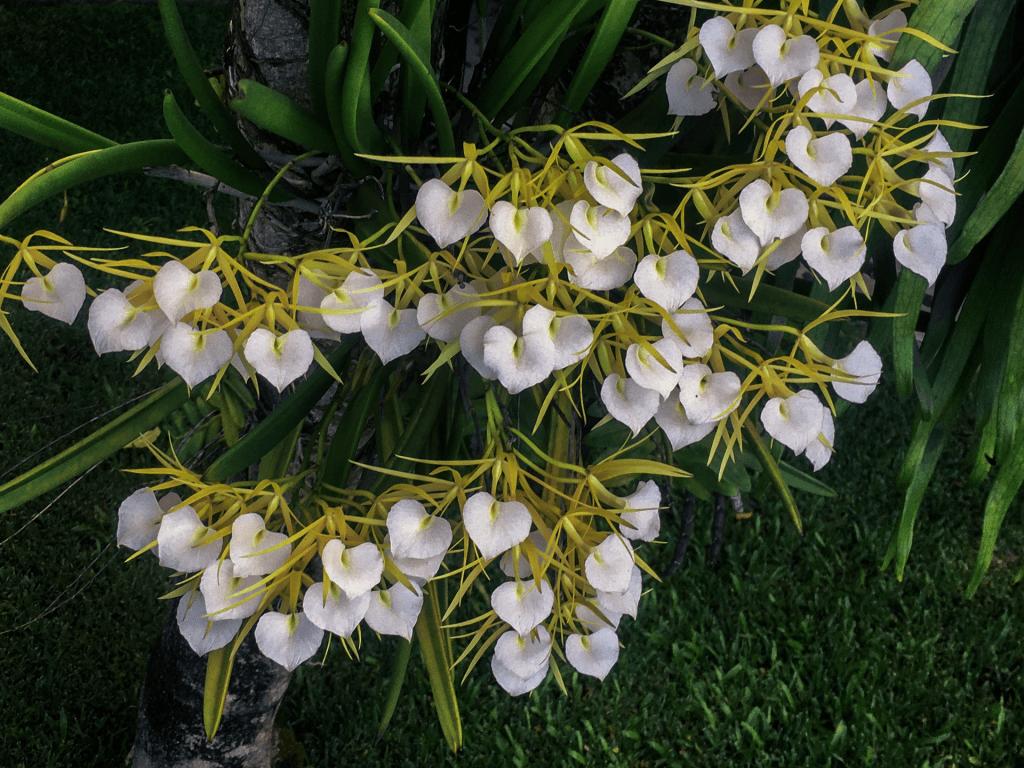 brassavola orchid flowers