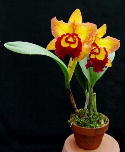 cattleya orchid plant