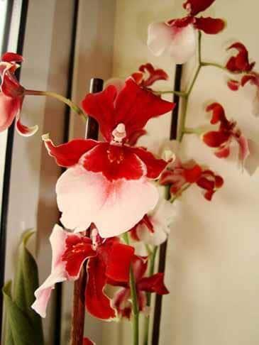 Vuylstekeara Cambria orchid