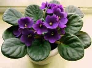 African Violet Saintpaulia 2
