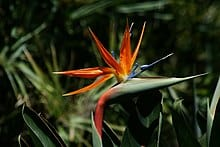 Bird of Paradise Strelitzia reginae 2