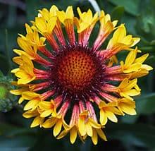 Blanket Flower Gaillardia 2