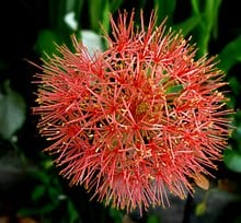 Blood Lily Scadocus Multiflorus 2