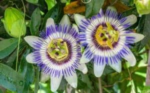 Blue Passion Flower Passiflora Caerulea 2