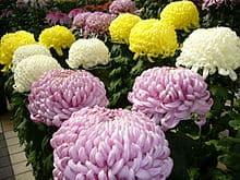 Chrysanthemum Morifolium 2