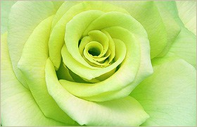 green rose symbolism