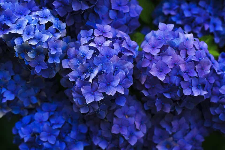 Hydrangea - blue perennials