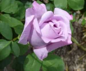 lavender colored rose