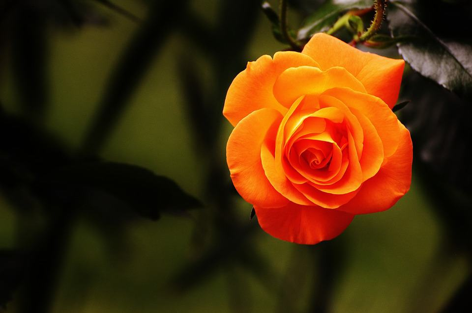meaning of orange roses
