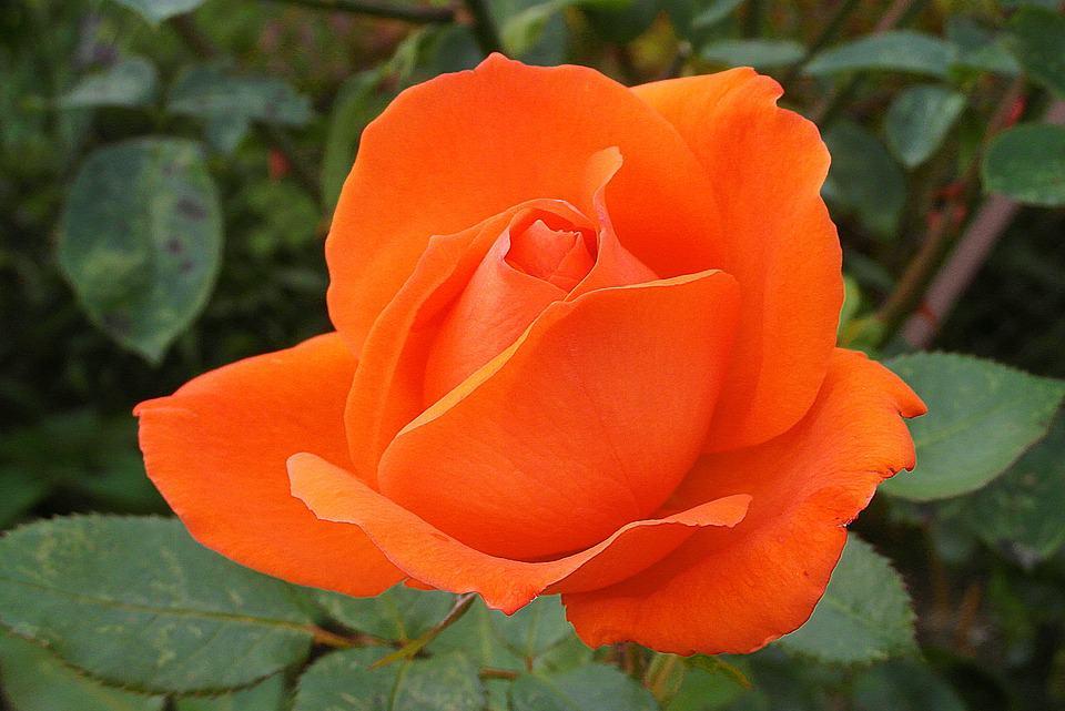 rose 4065186 960 720