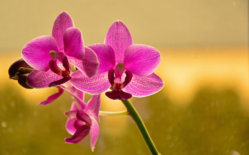 orchid 3932473 960 720