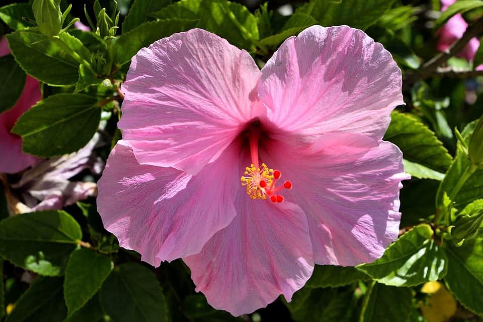 pink hibiscus 2659151 960 720