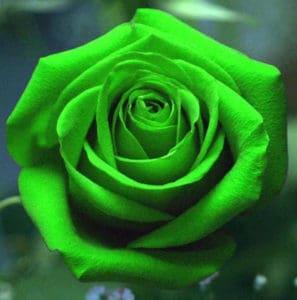 vibrant green roses