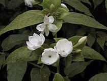 Sampaguita Jasminum sambac 2