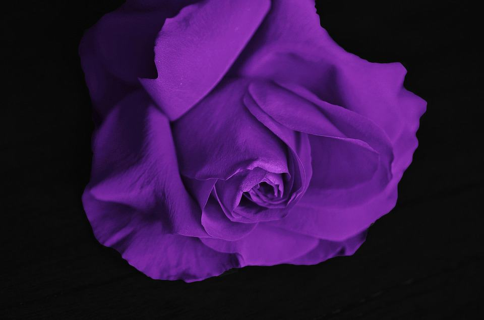 meaning of purple roses