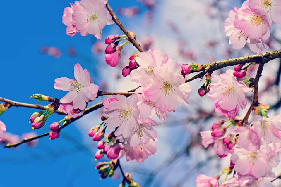 apple blossom 4106654 960 720