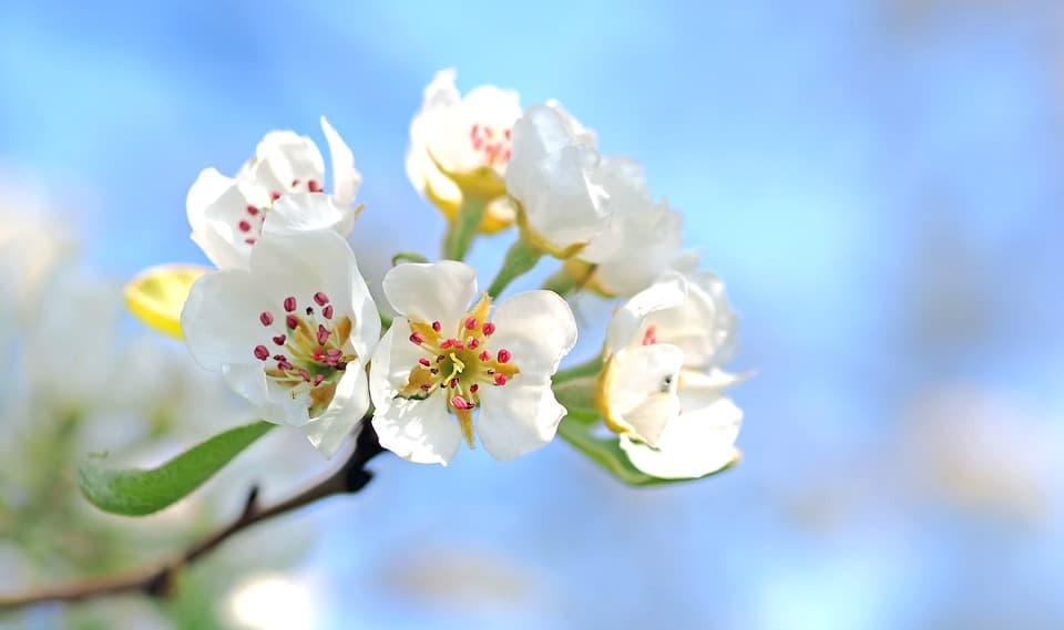 apple blossoms 1368187 960 720