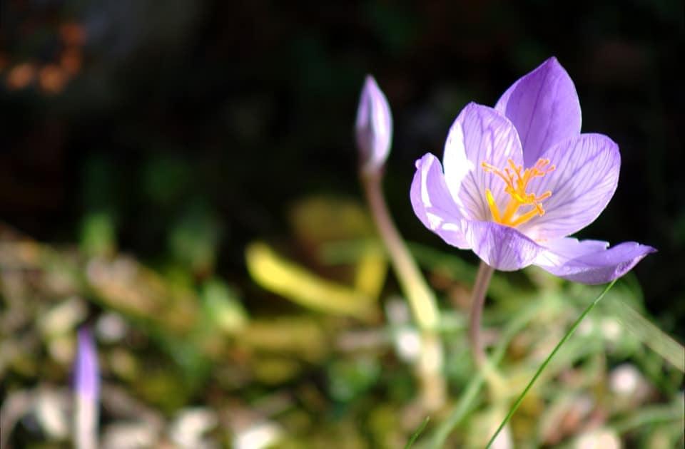 colchicum hybrid 1810489 960 720