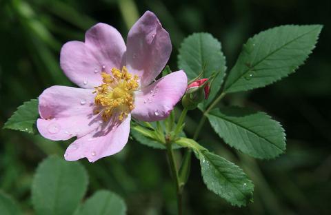flowerwildprairierose