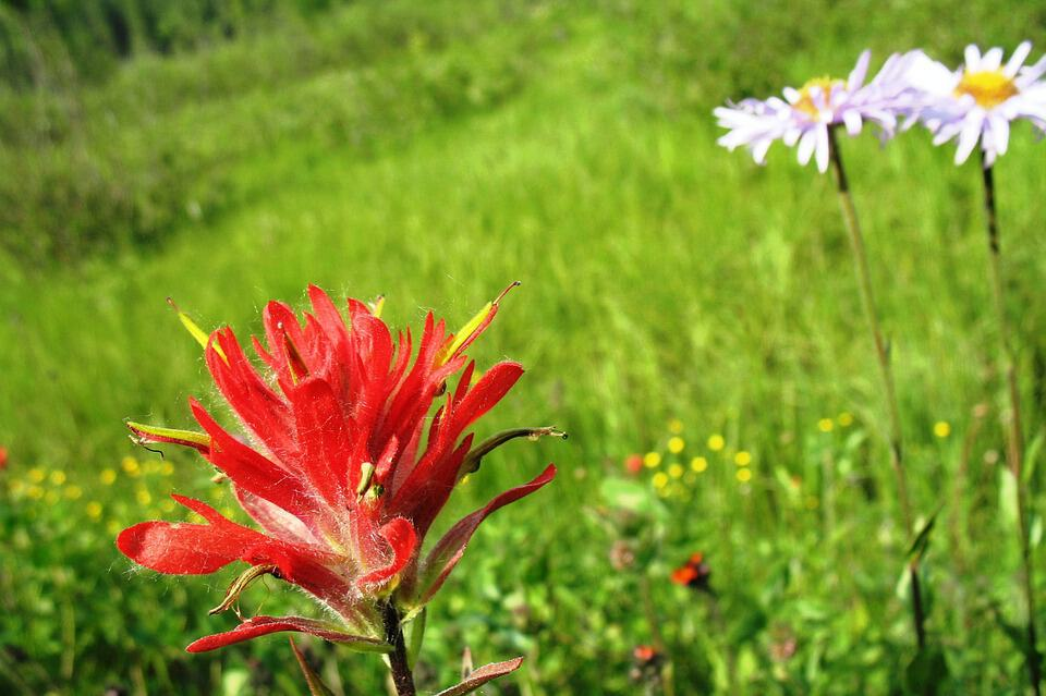 indian paintbrush 383644 960 720