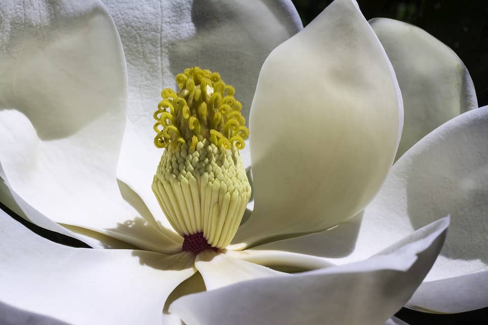 magnolia 1077384 960 720