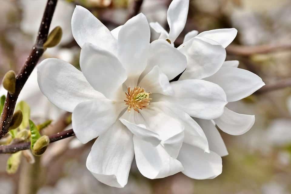 magnolia 4109847 960 720