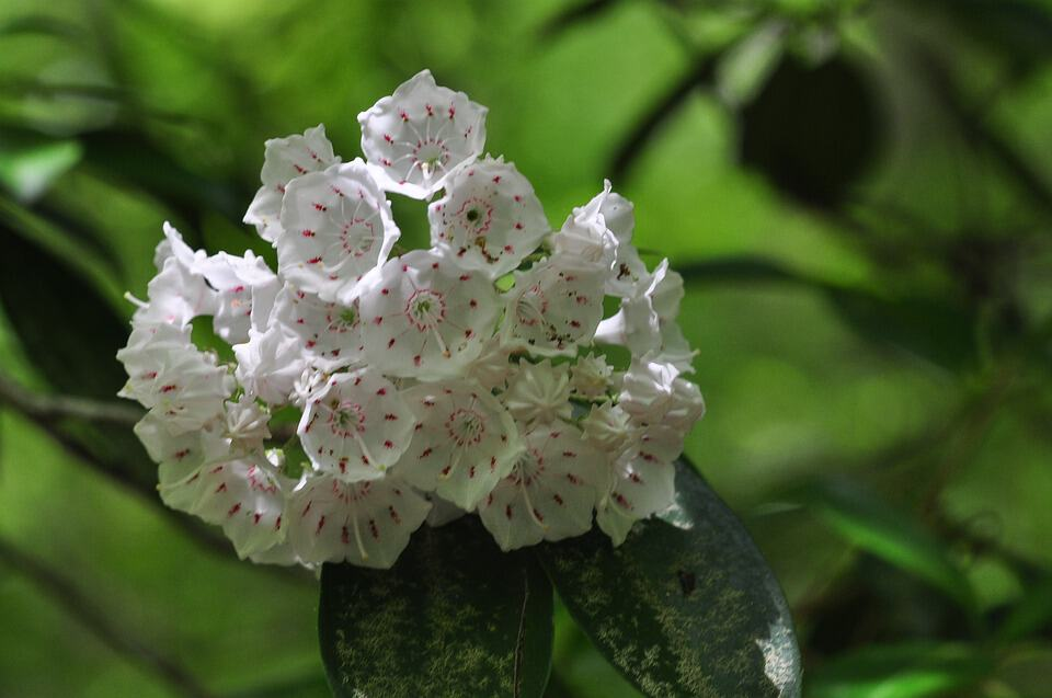 mountain laurel 2821832 960 720