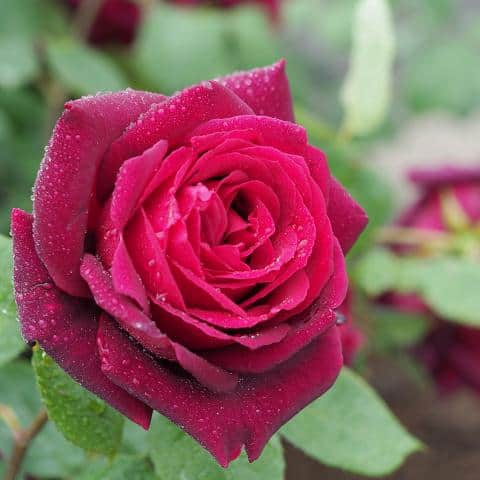 Oklahoma Rose Tea rose