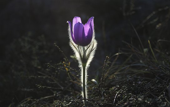 pasqueflower 1585303 340