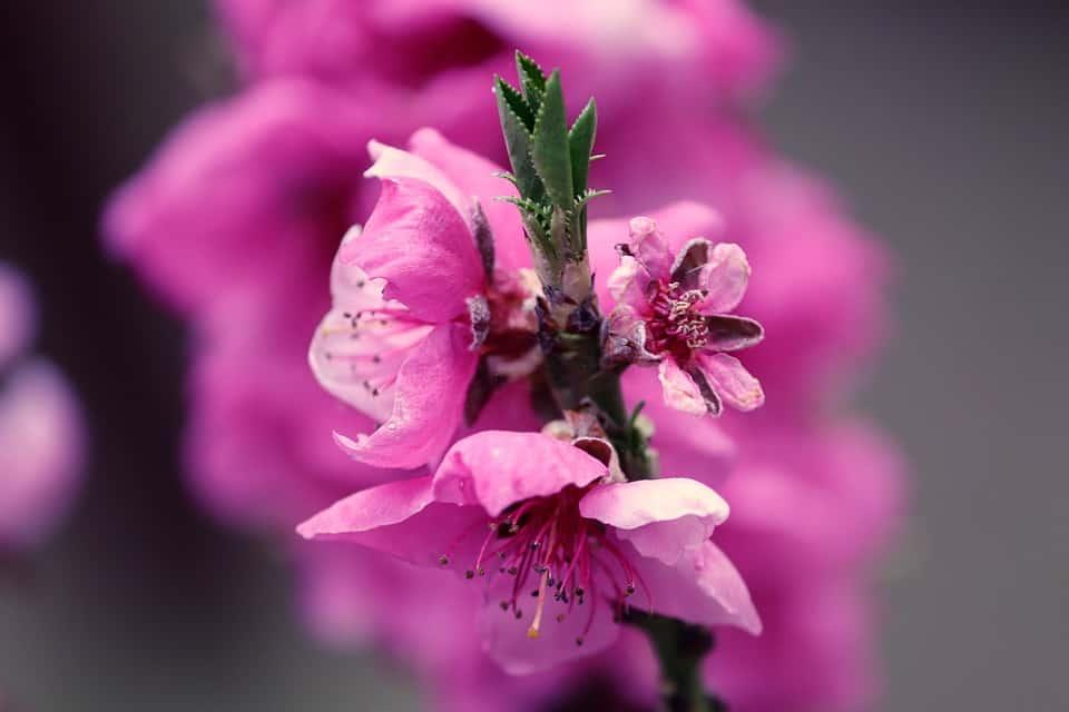 peach blossom 4110618 960 720