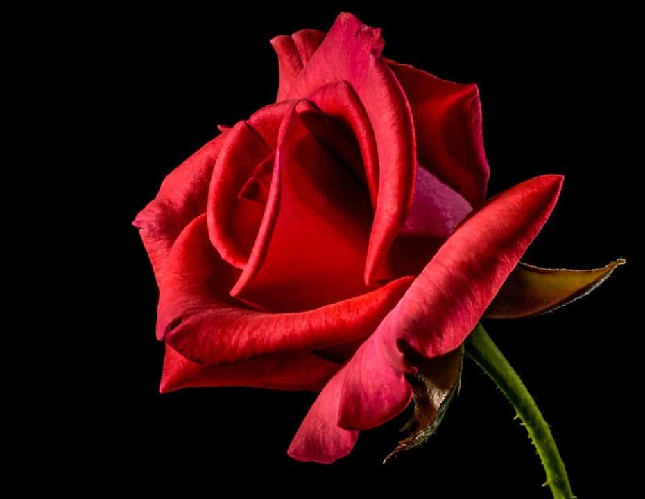 red rose 320868 960 720
