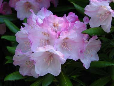 flower rhododendronWeb