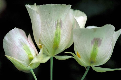 sego lily 590603 340