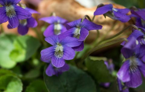 violetsflowers
