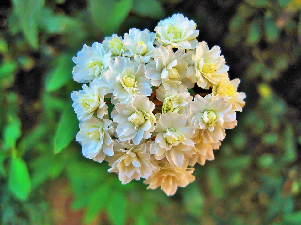 white mayflower 403174 960 720