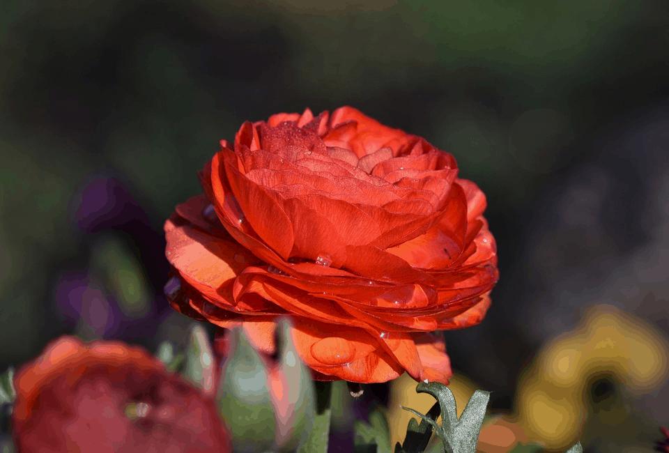 red ranunculus flower