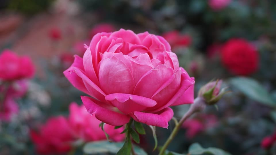 a rose 1039817 960 720