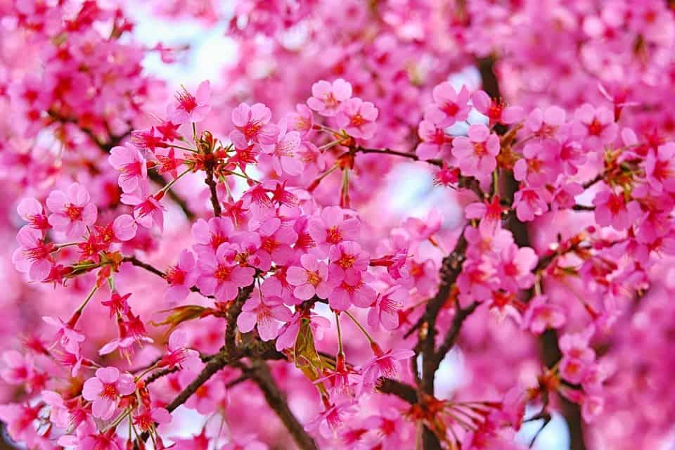 blossom 4170450 960 720