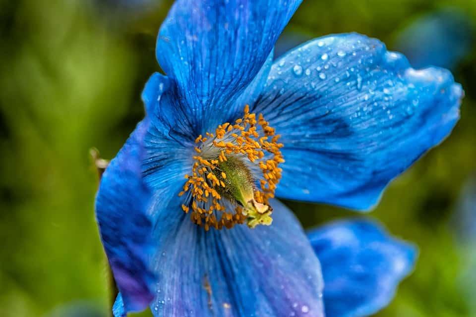blue poppy 2406935 960 720