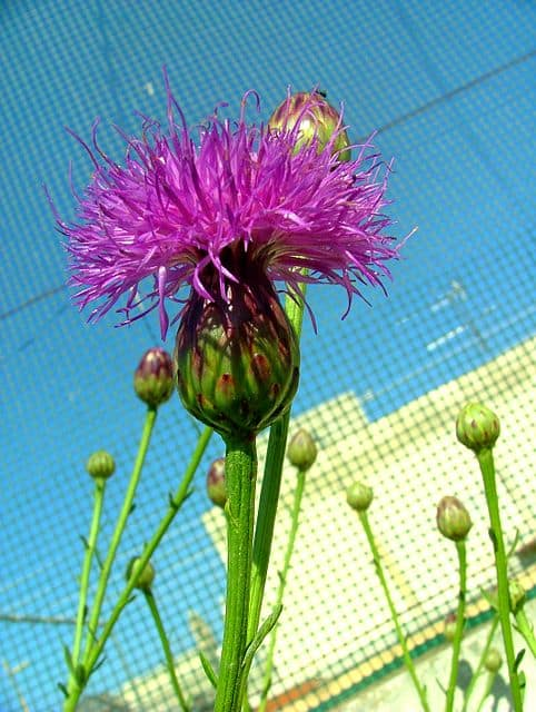 Cheirolophus crassifolius flower