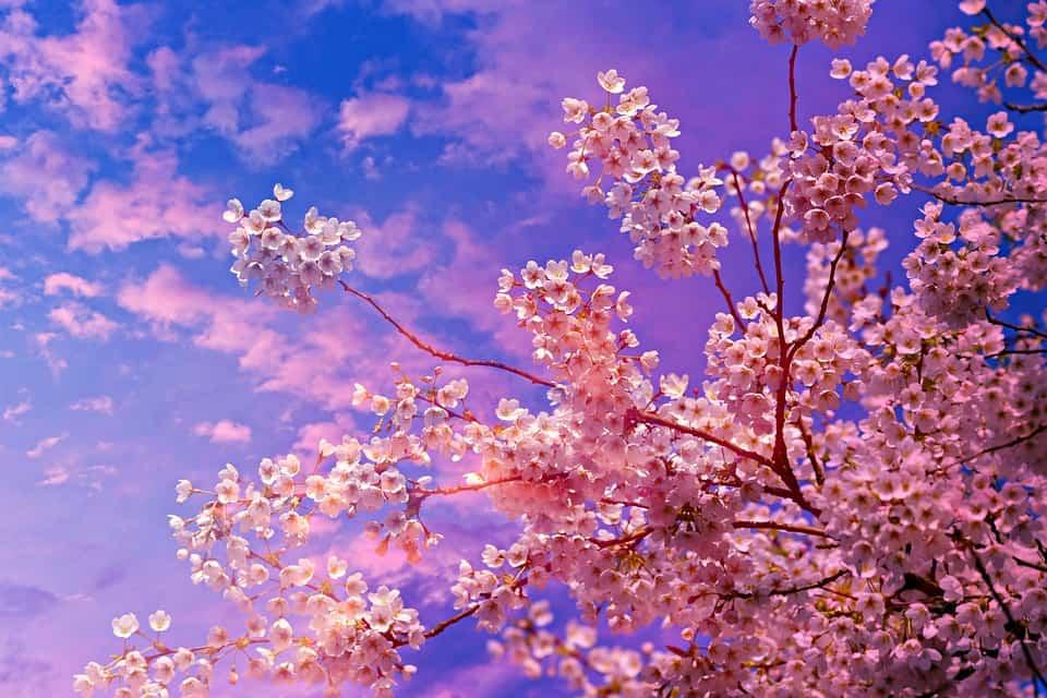 cherry blossom 4194997 960 720