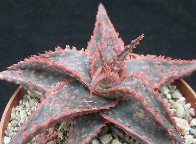 Christmas Carol Plant