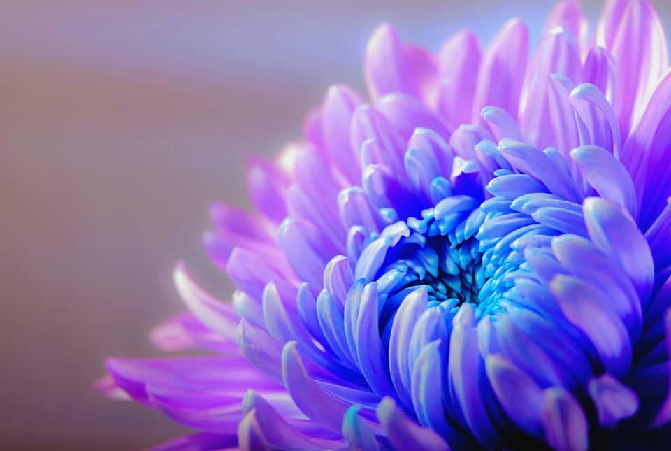 chrysanthemum 1332994 960 720