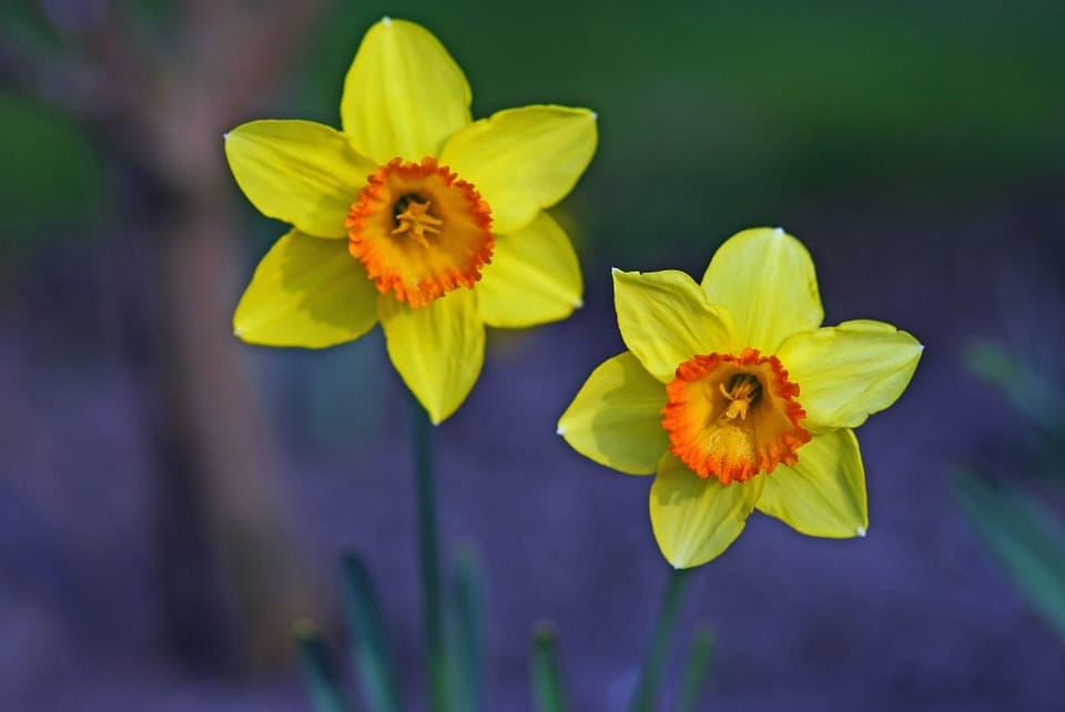 daffodil 56419 960 720