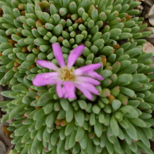Delosperma Sphalmanthoides