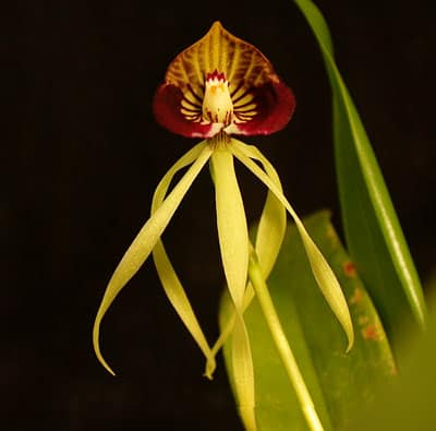 encyclia cochleatum black orchid 2011