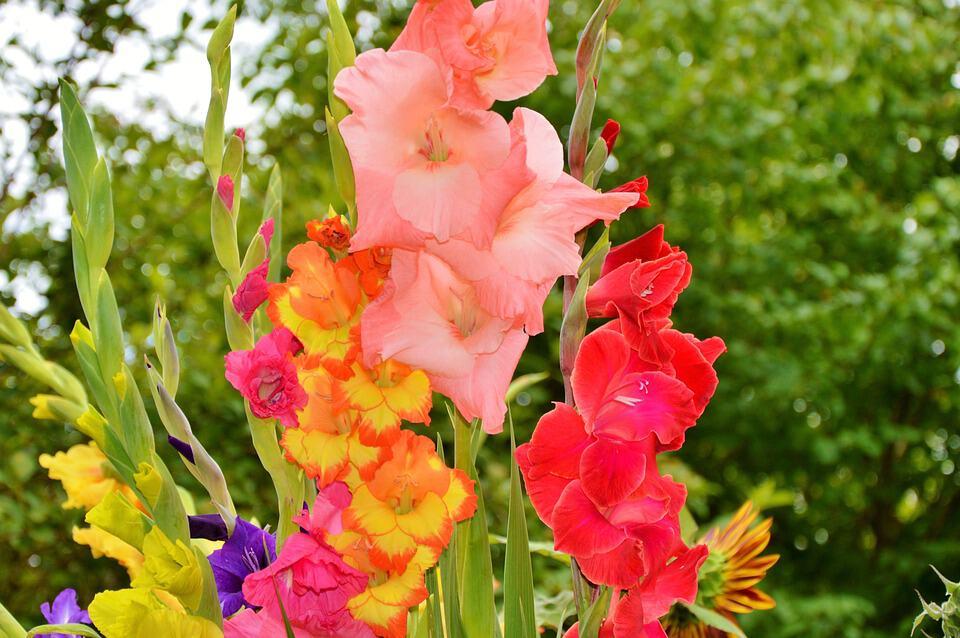 gladiolus 2538065 960 720